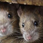 rat fever symptoms in tamil