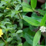 benefits of karisalankanni in tamil