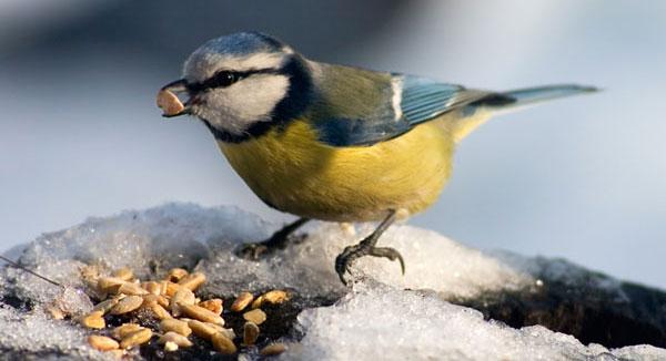 birds eat stones