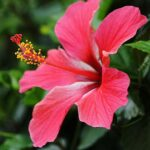 sembaruthi flower benefits in tamil